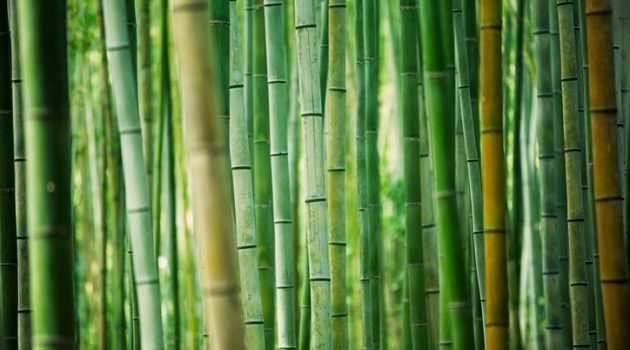 fresh and contrasting shades of green in a dense bamboo grove. kyoto, japan.